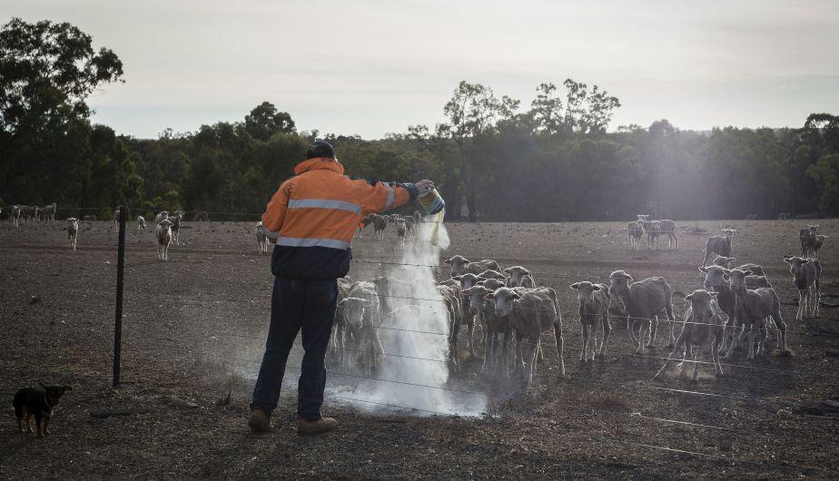 Alimentan a animales hambrientos que sufren los efectos de la sequía en Australia. (Foto: Getty Images)