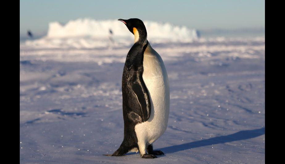 Un pingüino emperador cerca del rompehielos de investigación Xuelong de China, en la Antártida. (Foto: Xinhua)