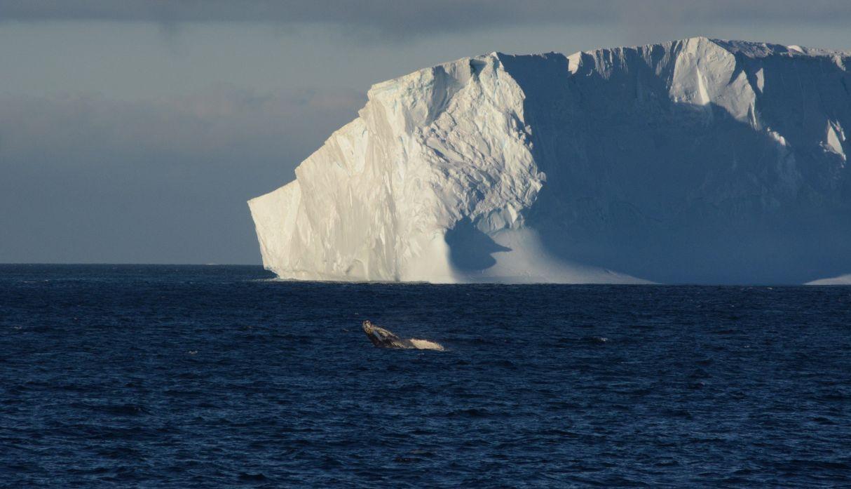 Vista de una ballena mientras salta, con un iceberg de fondo, hoy, en el marco de Homeward Bound. (Foto: EFE)