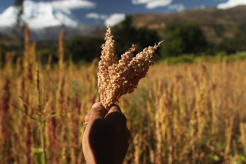 La quinua es un alimento súper nutritivo por excelencia. (Foto: GEC)