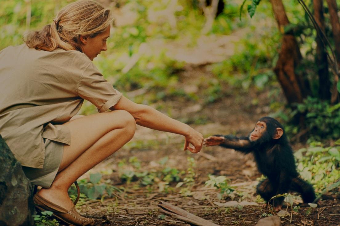 Jane es una ambientalista conmovida por los chimpancés. (Foto: National Geographic)