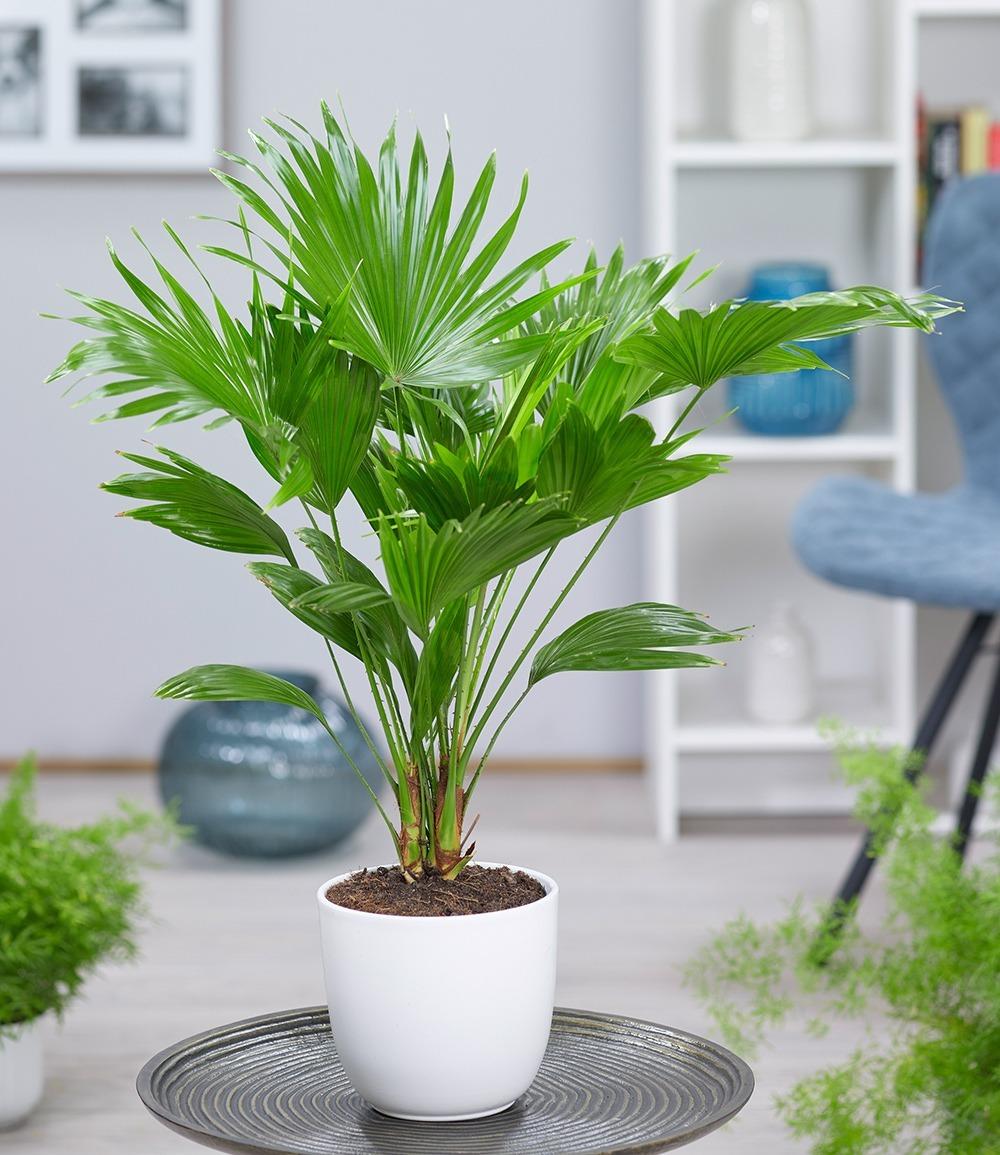 Exótica y delicada, así es la palmera china. (Foto: Mercadolibre.com.ar)