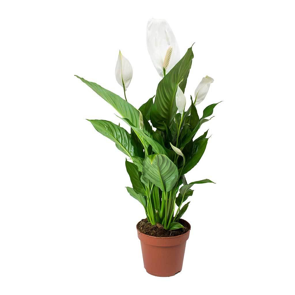 Esta flor también la podemos encontrar en color rojo y rosado. (Foto: Pixabay)