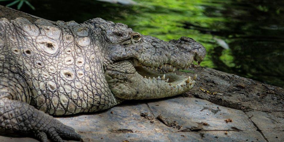 El cocodrilo atacó al jamaiquino en una de sus piernas. (Foto: Pixabay)