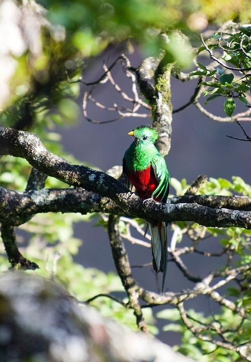 El quetzal es el ave endémica de América Central y en Costa Rica, podrás verla en todo su esplendor. (Foto: Pixabay)