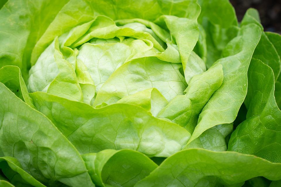 No hay nada más delicioso que una ensalada de lechuga. (Fruta:Pixabay)
