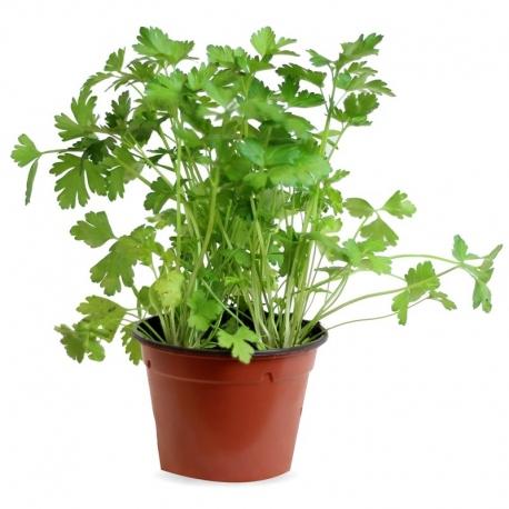 El perejil es una de las plantas más utilizadas, como decoración, en la gastronomía. (Foto: Pinterest Verde Decora)