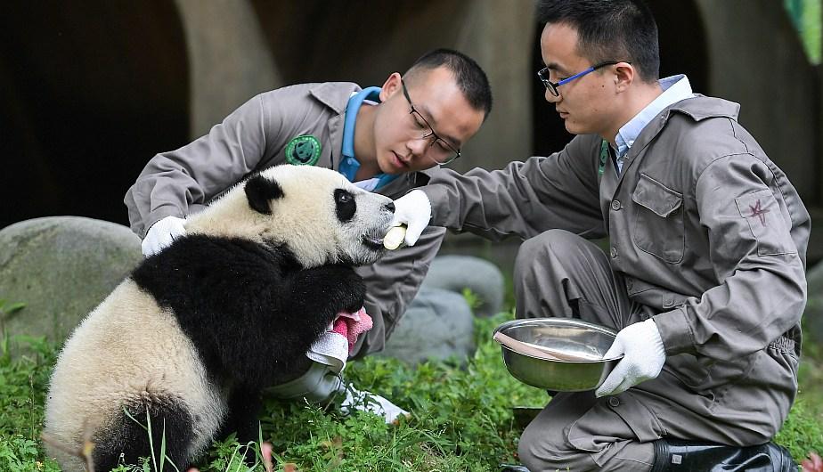 Criadores cuidando a un cachorro de panda gigante en la Guardería de Panda Gigante en la base Shenshuping. (Foto: Xinhua)