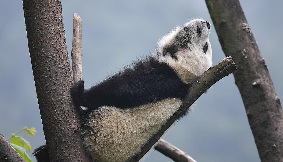 Un cachorro de panda gigante descansando en la Guardería de Panda Gigante en China. (Foto: Xinhua)
