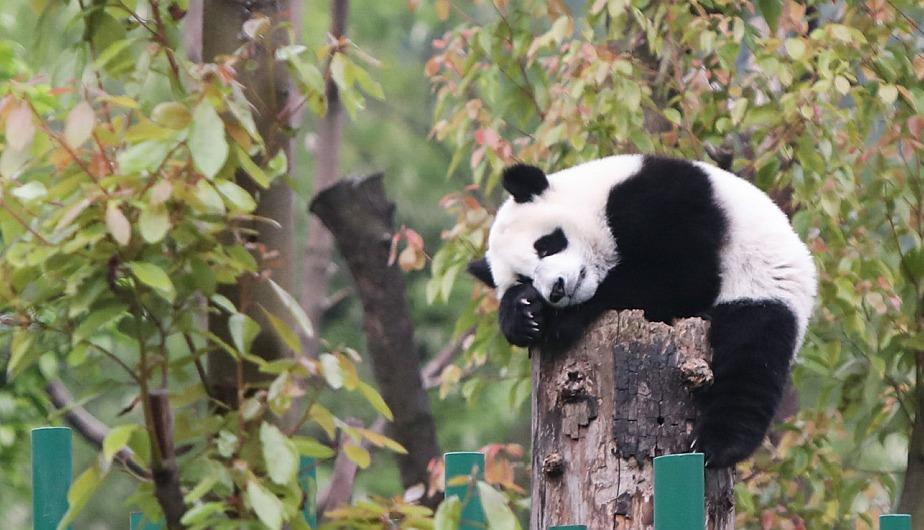 Cachorro de panda gigante descansando en la Guardería de Panda Gigante en la base Shenshuping, en Wolong, en la provincia de Sichuan, en el suroeste de China. (Foto: Xinhua)