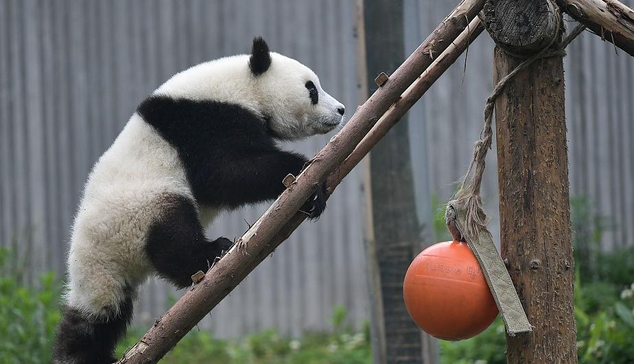 Cachorro de panda gigante jugando en la