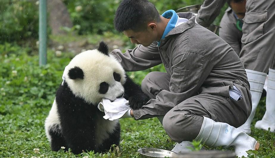 Un criador cuidando a un cachorro de panda gigante. (Foto: Xinhua)