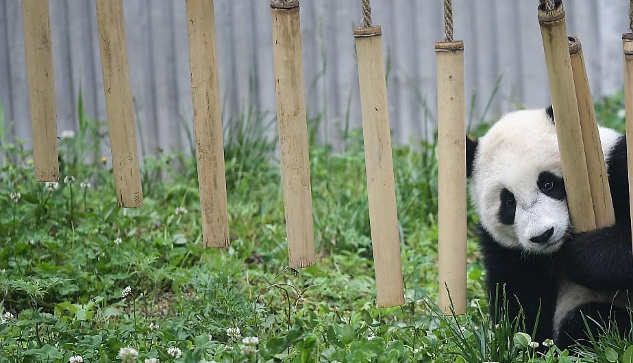 Un cachorro de panda gigante reaccionando en la Guardería de Panda Gigante. (Foto: Xinhua)