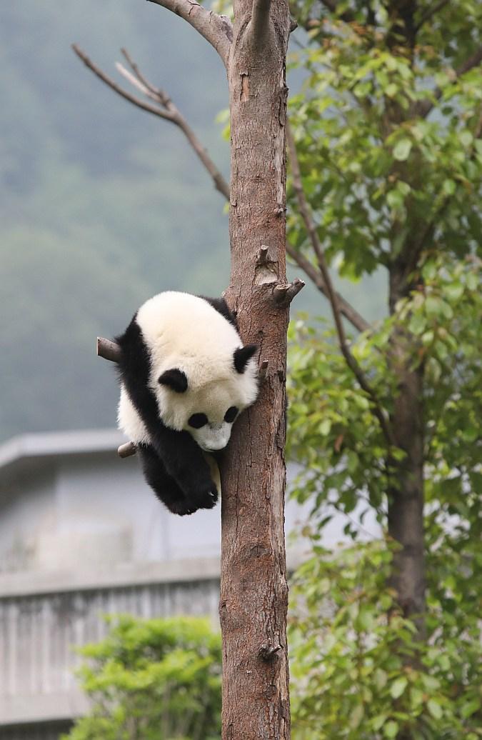 La Guardería para Pandas Gigantes se ubica en la Reserva Natural Nacional de Wolong. (Foto: Xinhua)