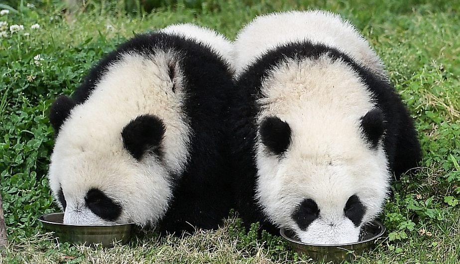 Cachorros de panda gigante comiendo en la Guardería de Panda Gigante en la base Shenshuping, del Centro de Investigación y Conservación para Pandas Gigantes. (Foto: Xinhua)