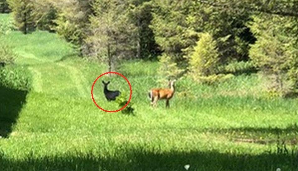 El hombre logró tomar una foto antes que los dos animales corrieran a los pinos al oeste para esconderse. (Foto: captura Facebook)