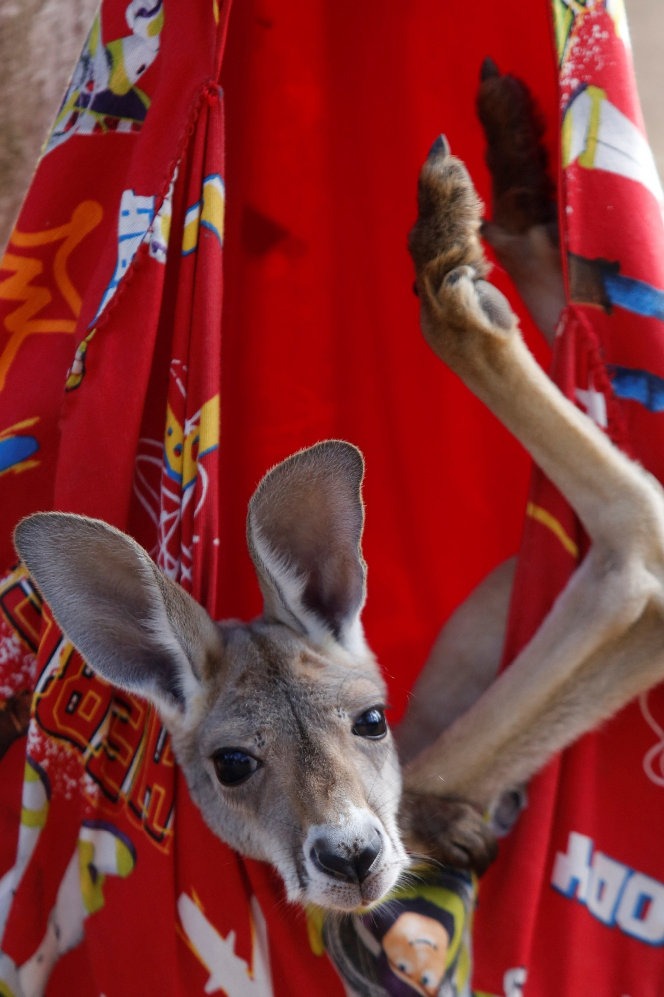 Khya es criada por humanos dentro de un marsupio artificial. (EFE)