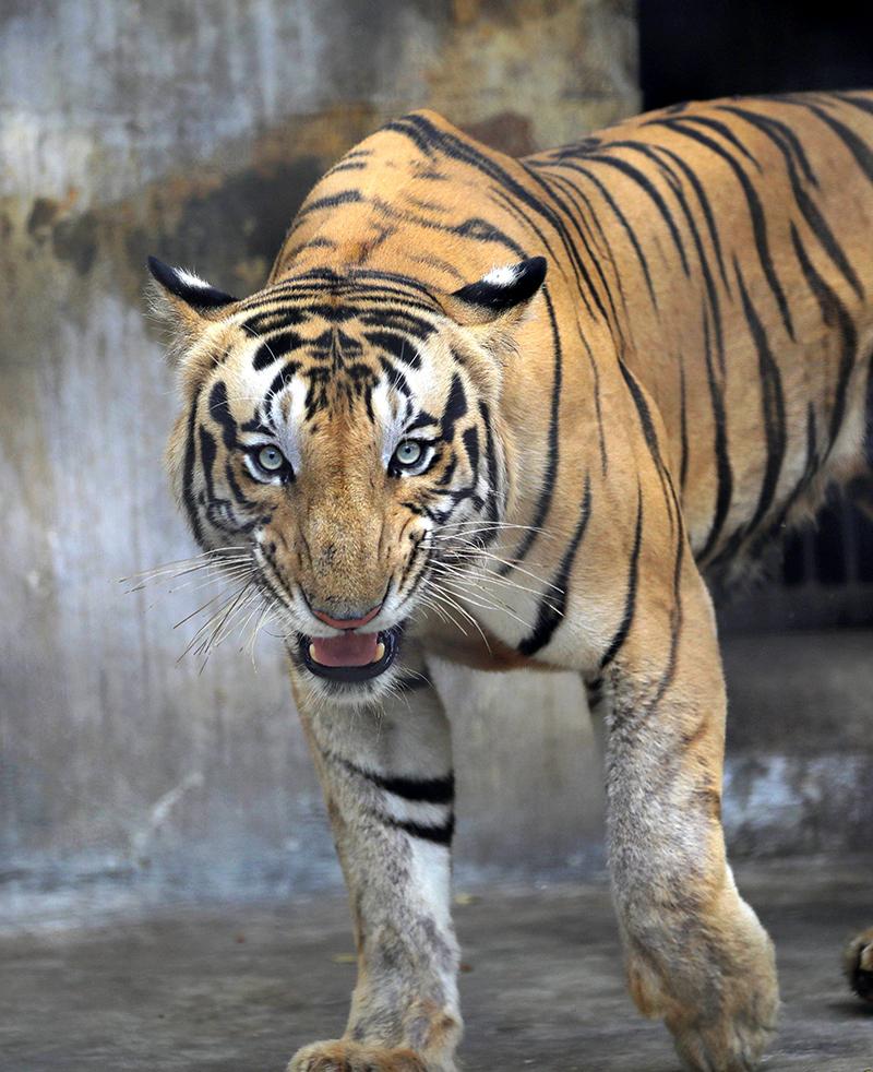 India prometió en 2010 duplicar su población de tigres. Lo logró con anticipación. (Foto: EFE)