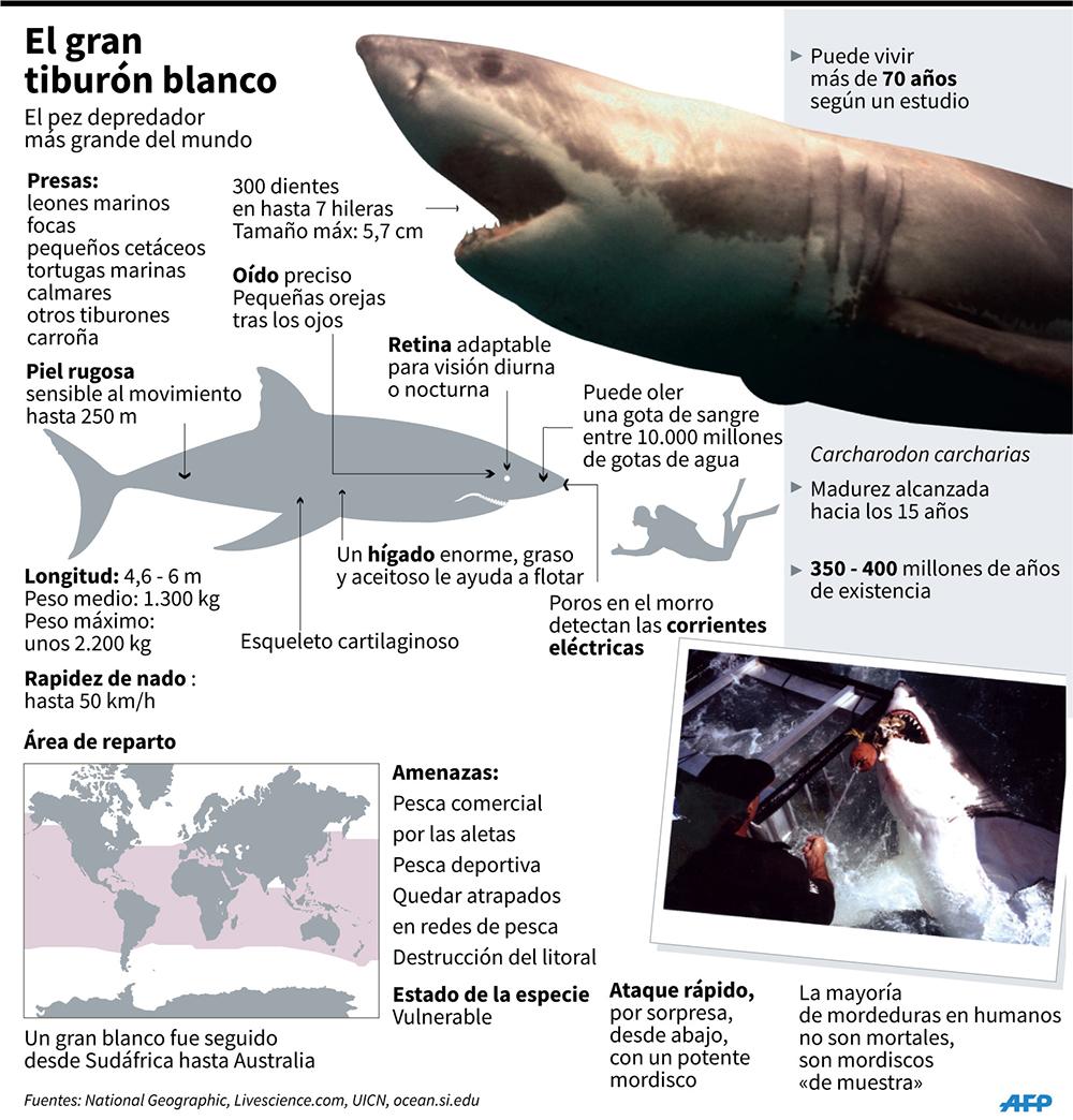 Conoce un poco más al tiburón blanco. (Infografía: AFP)