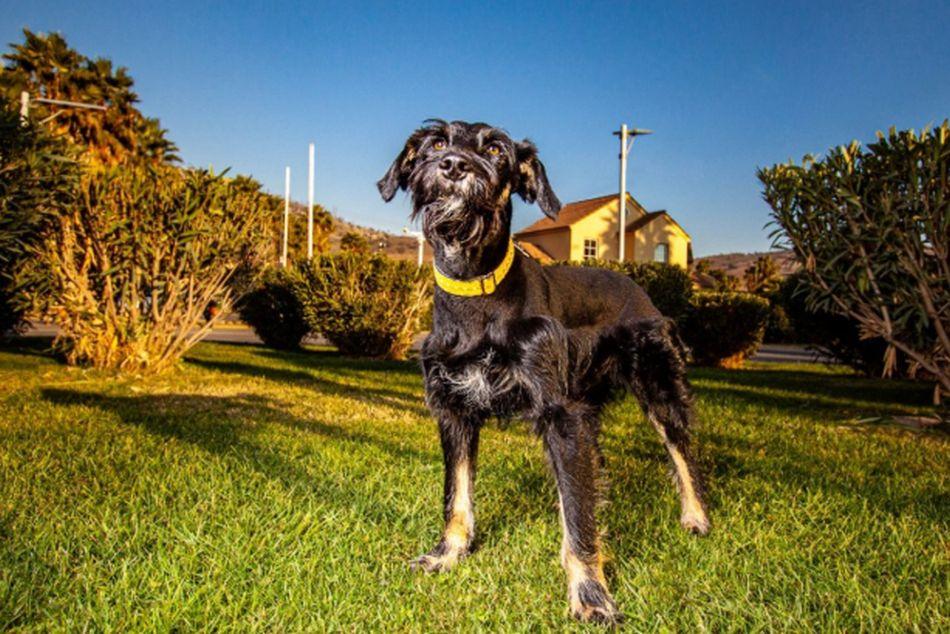 'Orejitas' es un perrito joven que quiere jugar, salir, recibir y dar  mucho amor. (Foto: Facebook Adopciones David Fernández)
