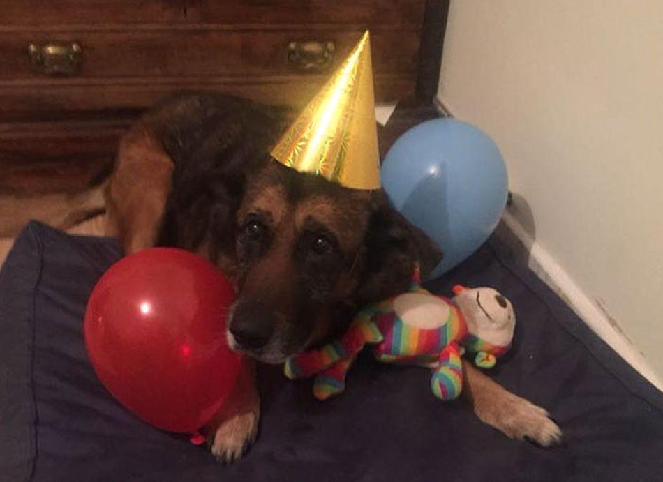 Aunque no sabe cuándo son sus cumpleaños, ella les organiza a todos una pequeña fiesta para que se alegren. (Foto: Facebook @thegreymuzzlecaninehospice)