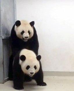Osos pandas captados en apareamiento. (Foto: EFE)