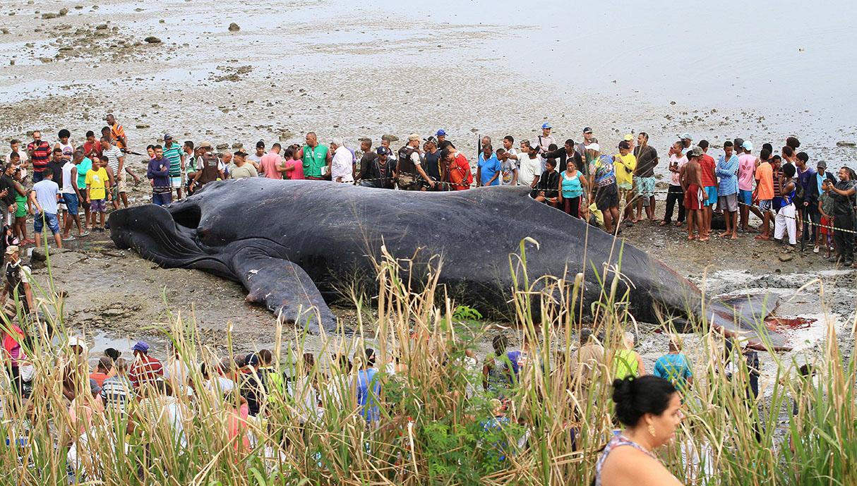 Docenas de personas intentaron salvar a la ballena, pero murió horas después. (Foto: EFE)
